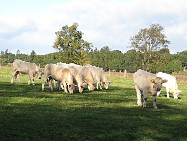 Cattle at Ballathie