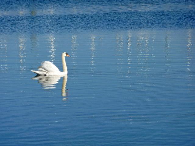 Mute Swan, Lymington
