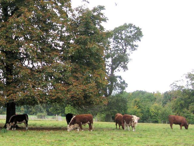 A group of bullocks on the Poulsden Estate