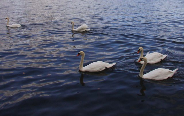 Swans on the Thames at Windsor