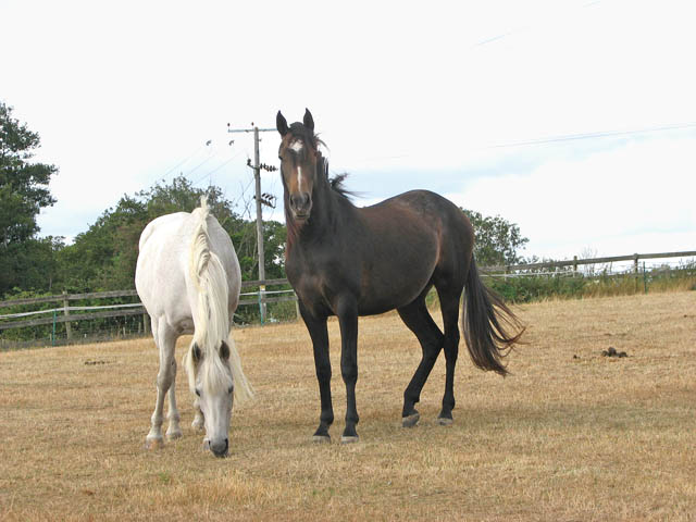 Horses in paddock by Limpenhoe Lakes