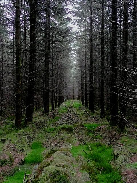 In the Tywi Forest near Cnol Wen, Powys