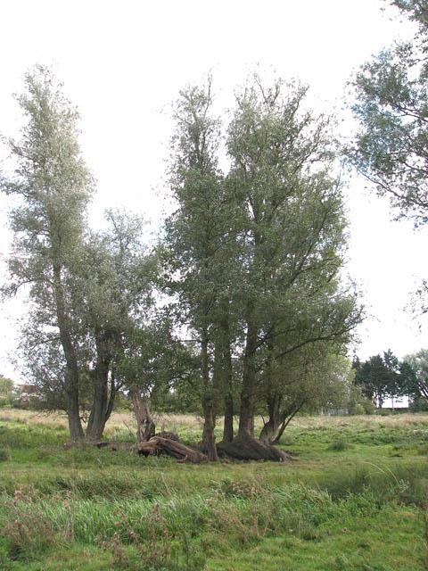 Willow trees in marsh pasture
