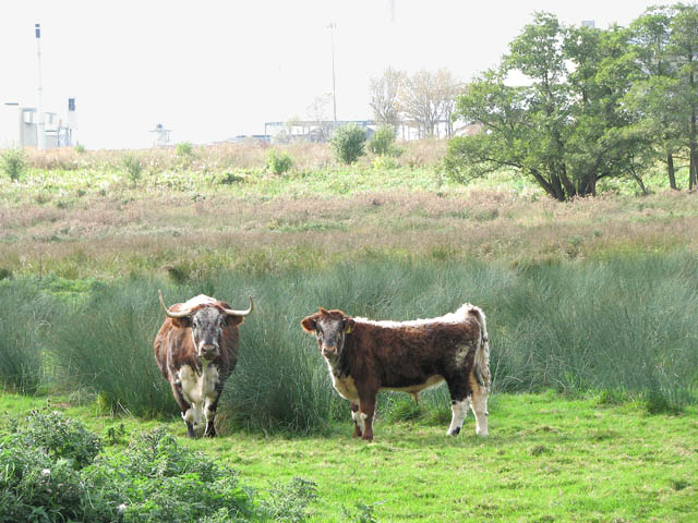 Longhorn cattle grazing marsh pasture