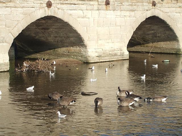Geese and gulls neath Clopton Bridge