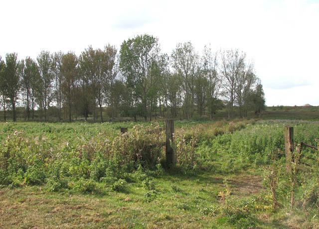 A copse of poplars