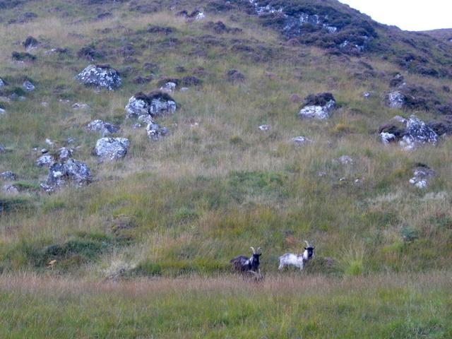 Wild Goats, Glen Strathfarrar.