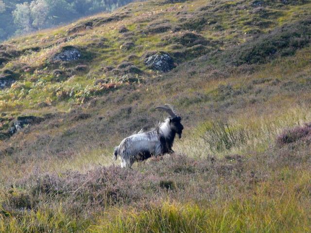 Wild Goat, Glen Strathfarrar