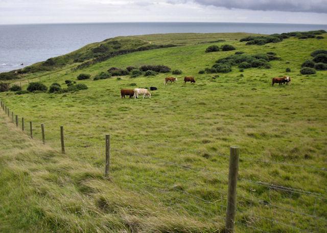 Cattle, Lulworth Ranges