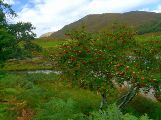 A good year for Rowanberries - Glen Strathfarrar.