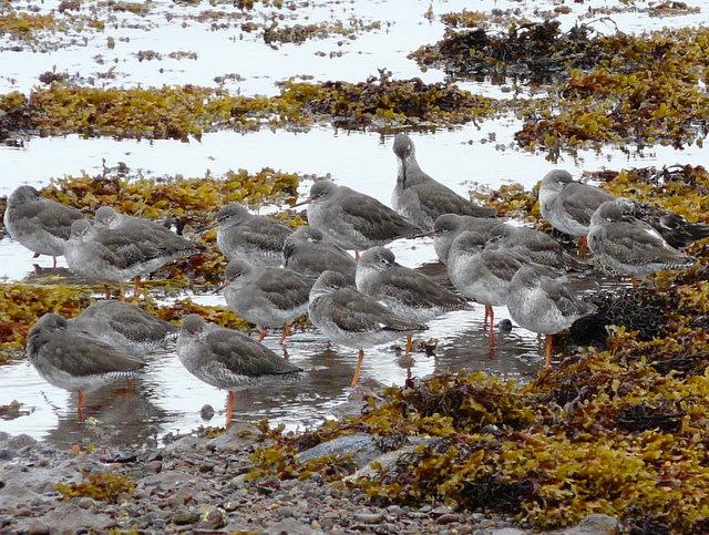 Redshanks at Loch Fleet.