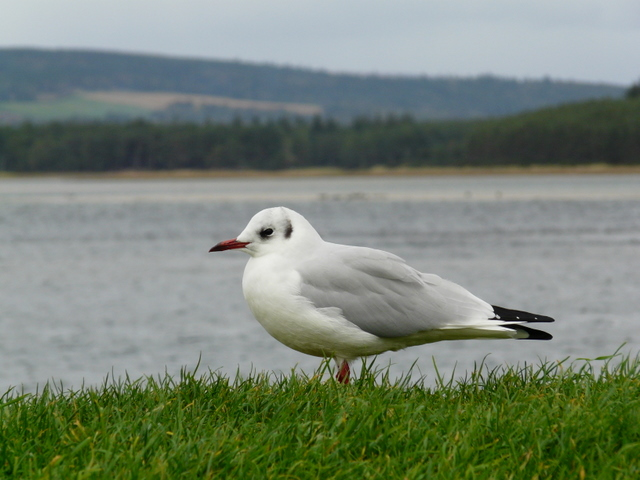 Black-headed gull, Loch Fleet.