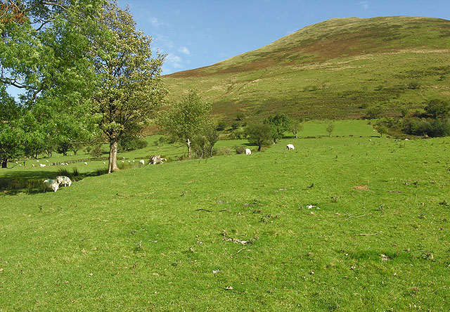 Grazing on the lower slopes of Pen yr Allt Isaf