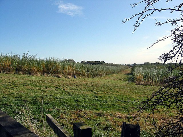 Willows being grown as a crop