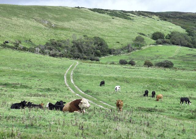 Cattle above Tyneham