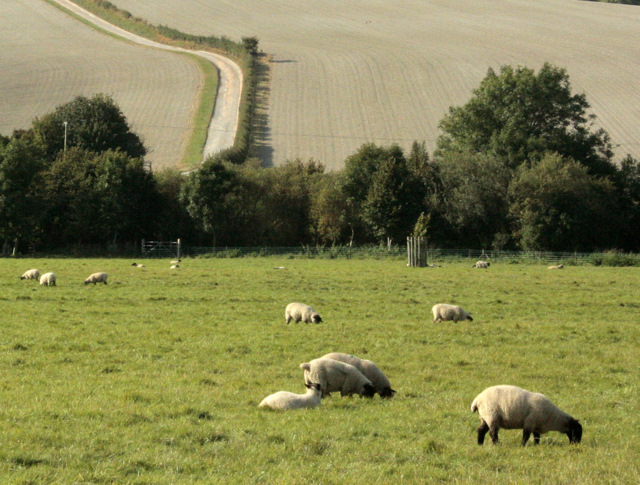 2009 : Sheep safely grazing near Brixton Deverill