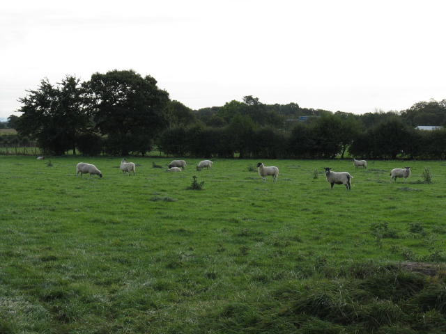 Sheep At Winterbottom Farm