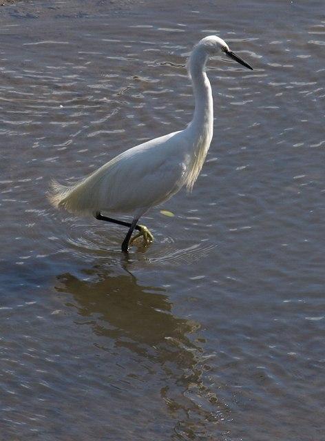 Little egret, Kingsbridge