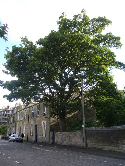 Horse chestnut tree, Brunswick Road