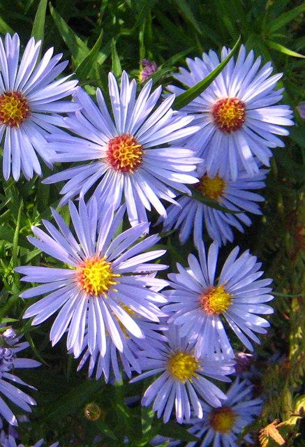 Michaelmas daisy (Aster lanceolatus x novi-belgii)