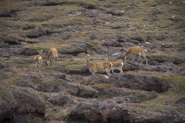 Red Deer herd at Cnoc a'Chotain