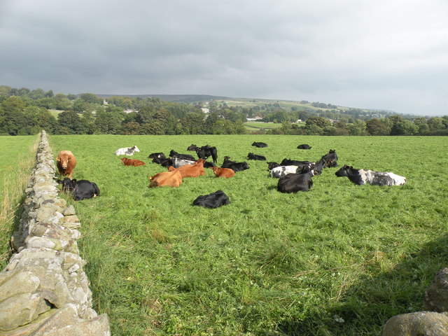 Cows next to the Pennine Way, Middleton-in-Teesdale