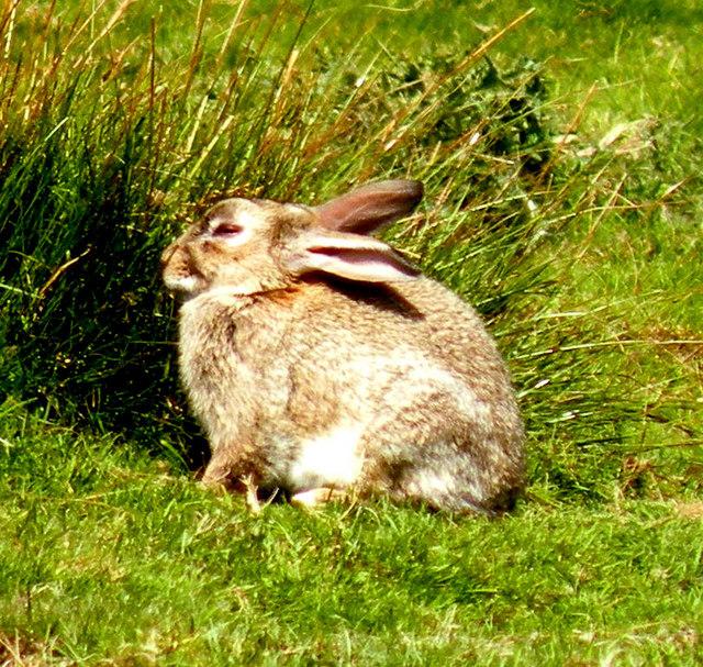 Rabbit on the Pennine Way