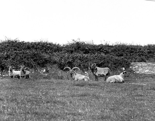 Four-horned sheep at Ballafayle (Kerruish's)