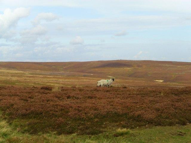 Kirkby Malzeard Moor