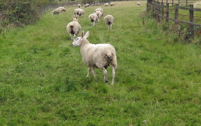 Sheep near Far Ings