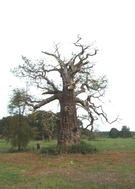 Veteran tree