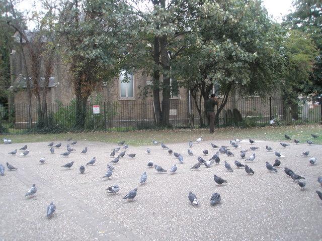 Pigeons in Western Road