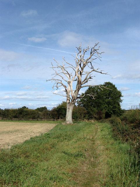 Dead Oak, Little Newlands