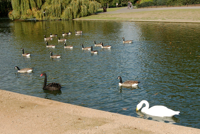 Swans and geese on the boating lake, Regents Park