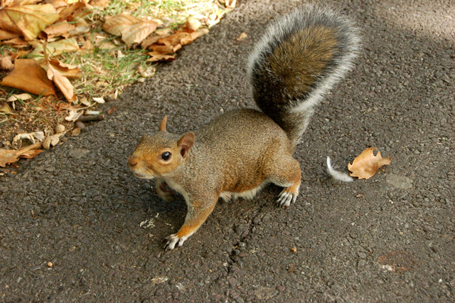 A semi-tame squirrel on the scrounge in Regents Park