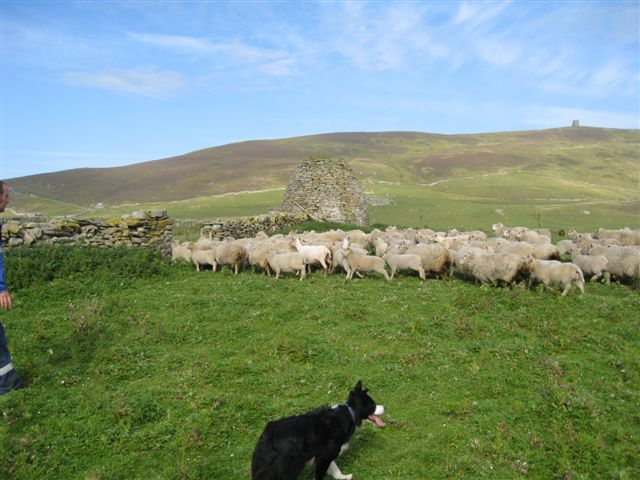 Noss ewes in for clipping