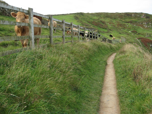 Cattle above Derngate Cove