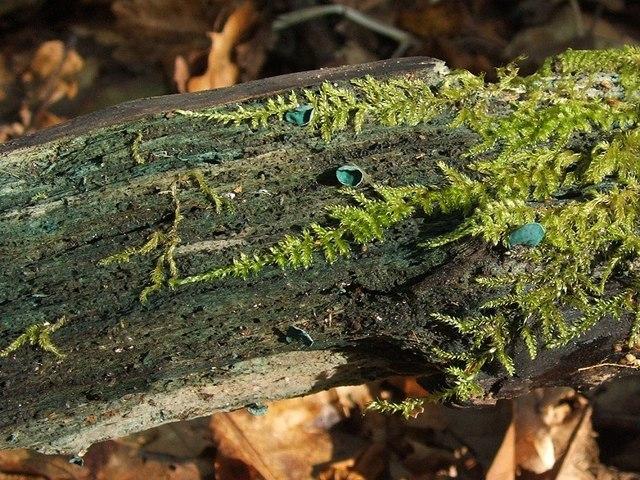 Green Elfcup (Chlorociboria aeruginascens)