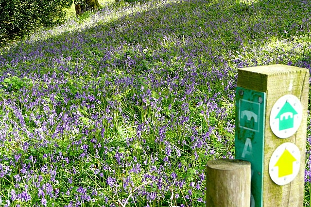 Bluebells on the Avon Valley Path