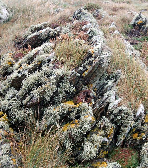 Mosses and lichen on rocks, Pen y Cyfrwy headland