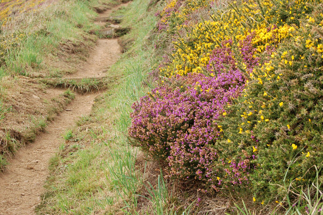 Gorse and heather beside the coastpath, Newgale