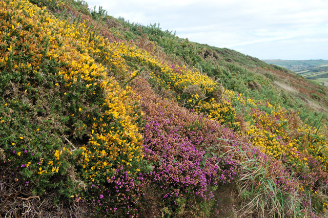 Bank of heather and gorse north of Newgale