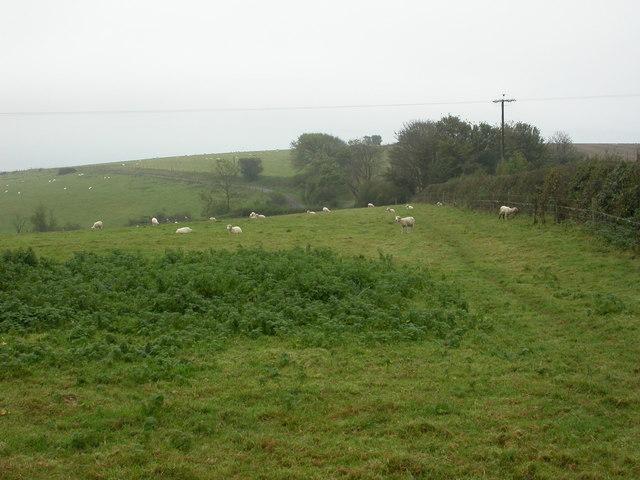Portesham, sheep