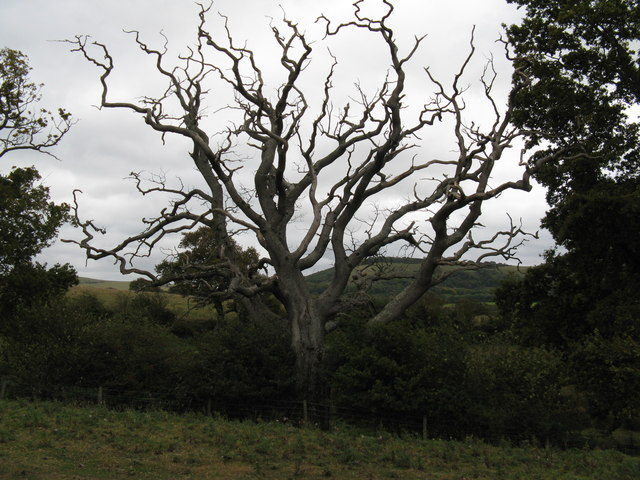 Dead tree near path to Clappers Lane