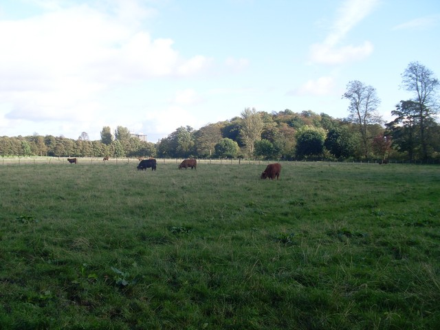 Highland Cattle grazing in Pollok Country Park