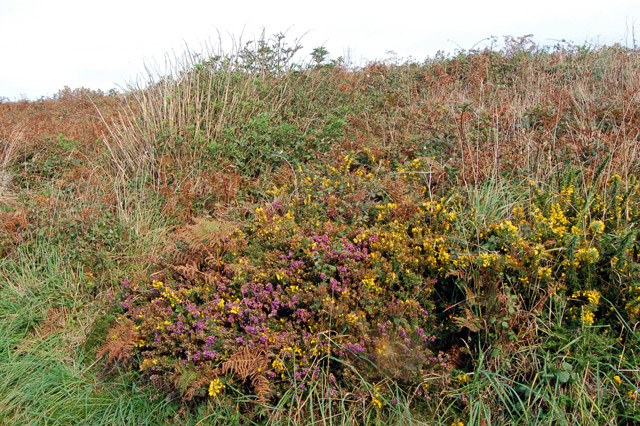 Gorse and heather above Porthclais harbour