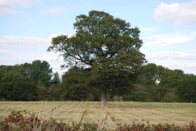 Single tree in a field off Lower Haysden Lane