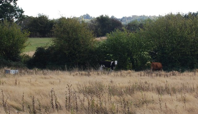 Cows sheltering by the hedge