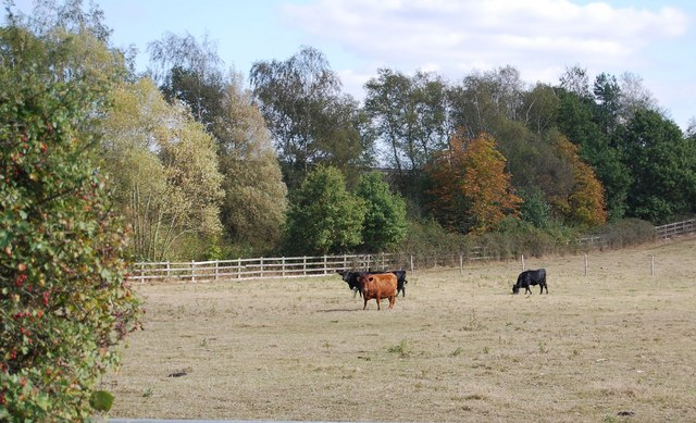 Cattle off Lower Haysden Lane