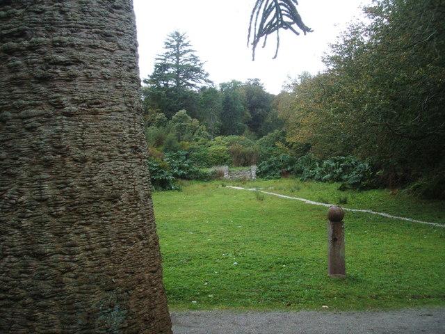 Araucaria araucana trunk